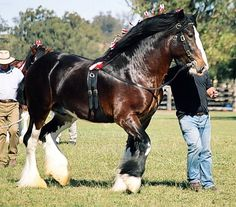Archie is a Registered Shire stallion by the famous U.K stallion Walton Supreme out of Wyee Bonnie Lass. Big Horses, Pretty Horses, Horse Love, Beautiful Horses, Shire Horse, Horse And Human, Horse Ears, Clydesdale Horses, Interesting Animals