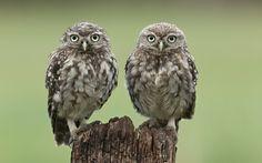 Burrowing Owl Animal desktop wallpaper, Owl wallpaper, Bird wallpaper - Animals no. Owl Wallpaper, Animal Wallpaper, Shower Curtain Sizes, Fabric Shower Curtains, Owl Species, Burrowing Owl, Owl Pet, Beautiful Owl, Little Owl