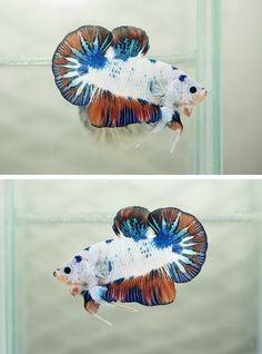 Monster blue orange halfmoon plakat.