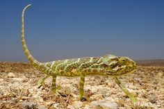 Fabio Pupin - naturalist and photographer Exotic Animals, Exotic Pets, Socotra, Reptiles And Amphibians, Island, Inspiration, Biblical Inspiration, Unusual Pets, Islands