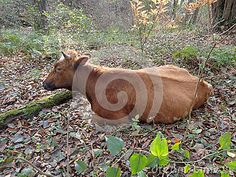 Cow resting in a forest glade