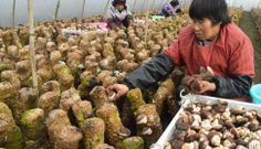 The Shiitake base of Anhui Province helps throw off poverty