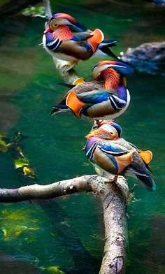 Just 3 ducks in a row / animaux / oiseau / canard mandarin Pretty Birds, Love Birds, Beautiful Birds, Animals Beautiful, Birds 2, Amazing Animals, Three Birds, Flying Birds, Humming Birds