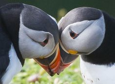 Puffins mate for life. | The 30 Happiest Facts Of All聽Time... look how they are looking into each others eyes. This is such a sweet picture