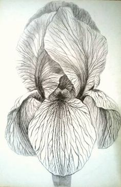 Original drawing on paper pencil black and white Iris flowers botanical Iris Drawing, Floral Drawing, Plant Drawing, Paper Drawing, Paper Art, Iris Painting, Painting & Drawing, Watercolor Paintings, Painting Abstract