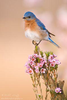 A Bluebird making Minnesota more beautiful.