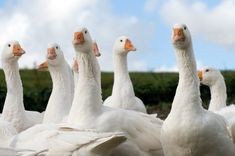 We are going to add raising geese to our poultry qualifications this spring. We have had most of the other poultry here, including chickens, guinea hens, ducks and turkeys. So geese should be a simple addition right? What Can Chickens Eat, Keeping Chickens, Raising Chickens, Backyard Poultry, Chickens Backyard, Geese Breeds, Poultry Breeds, Raising Ducks, Duck House