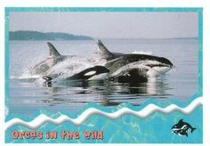 1995 SkyBox Free Willy The Adventure Home Orcas in the wild: pods Front Free Willy, Sports Gallery, Orcas, Trading Card Database, Trading Cards, Whale, Adventure, Movies, Animals