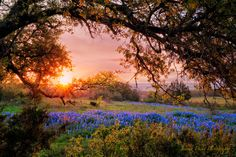 Sunrise Photography, Bluebonnets, Tree Photography, Landscape Photography, Fine Art Photography, Colorful Wall Art, 11x14 print by JessDukePhotography on Etsy