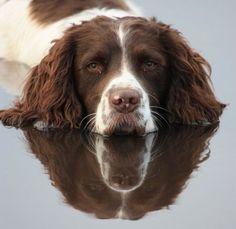 English Springer Spaniel Puppy Dog .