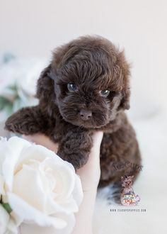 Chocolate Shih Poo puppy bu TeaCup Puppies and Boutique! #shihpoo #shihtzu #poodle #puppy #puppies #doglovers #designerbreed