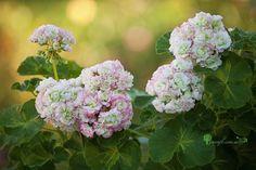 Pelargonium Happy Appleblossom Rosebud