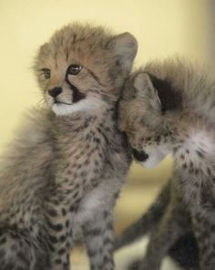Cheetah cubs! adorbs