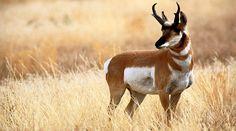 Pronghorn Antelope | San Carlos Apache Tribe