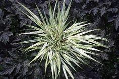 Fubuki Japanese Forest Grass - Hakonechloa: Gardenista