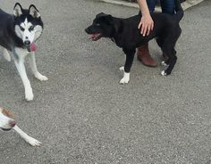 General making friends at the dog park.... Another Husky :)
