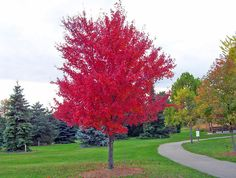 Autumn Red Maple For Sale - $13.99 Order Today!