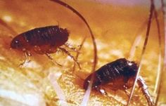 How to Kill Roaches Fast? Home Remedies For Fleas, Flea Remedies, Flea Bomb, Flea Removal, Fly Control, Roach Control, Killing Fleas, Home Remedy Teeth Whitening, Diesel