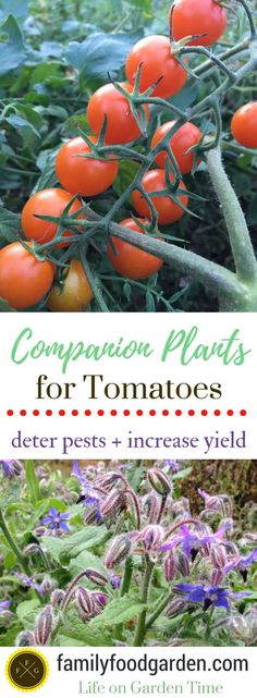 Tomato Companion Plants to Deter Tomato Pests Companion Planting Tomate companion plants against tomato pests – plants that deter tomato … Planting Vegetables, Organic Vegetables, Growing Vegetables, Vegetable Gardening, Veggies, Tomato Companion Plants, Companion Gardening, Strawberry Companion Plants, Gardening For Beginners