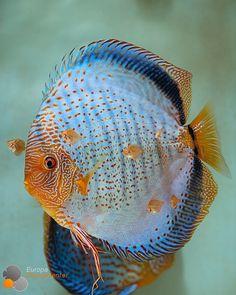 Responsible Care for Freshwater Fish Aquarium Discus Fish, Betta Fish, Discus Tank, Fish Tank, Fish Fish, Diskus Aquarium, Tropical Fish Aquarium, Jellyfish Aquarium, Tropical Freshwater Fish