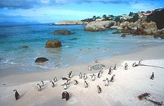 Boulders Beach in South Africa (Cape Peninsula) - would love to see penguins in nature!