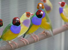 Lady Gouldian Finch - Man Cave at ManBower.com