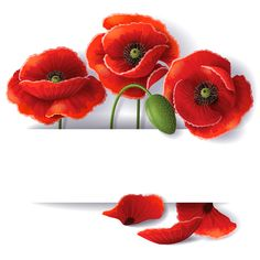 Beautiful poppy backgrounds vector