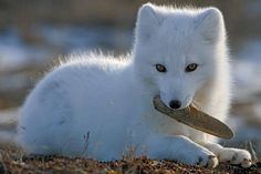 Baby Arctic Fox cute photography animals baby fox white wildlife arctic