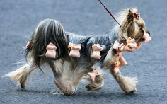 A Yorkshire Terrier leaves the hall during an International dog show in Schoenefeld near Berlin, Germany Dog Pictures, Animal Pictures, Funny Pictures, Up Dog, Dog Cat, Funny Animals, Cute Animals, Cute Animal Photos, Dog Show