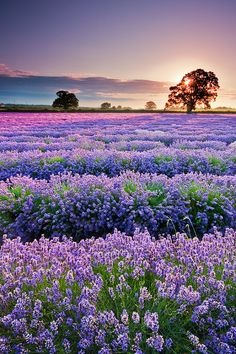 This picture is perfect!  Look at how the colors of the sky and the field of lavender reflect one another, and the setting sun behind the tree is perfect!