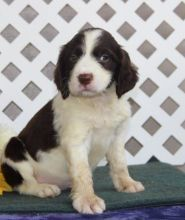 English Springer Spaniel Puppies For Sale San Francisco Ca