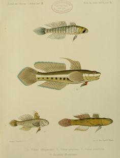 Bd.4, Hft.11,13,15(1876-1881) - Journal des Museum Godeffroy. - Biodiversity Heritage Library