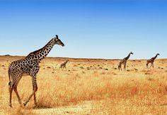 a-m-a-z-o-n:    Giraffes Go On Forever byBen Heineon flickr