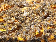 Have a Bee Problem in Gilbert AZ? We are the Bee Removal Pest Control Experts and Can Help Get Rid of Bees in Your Home or Business Best Pest Control, Bug Control, Honey And Cinnamon Cures, Getting Rid Of Bees, Bee Removal, Flea Treatment, Termite Control, Bees And Wasps, Gardens