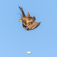 https://flic.kr/p/yGgQBU   I dropped it...I'll get it!   The sheer speed of a kite diving for the food it managed to drop somehow while eating.  Lesson learned I guess...Don't eat while driving...I mean flying :)