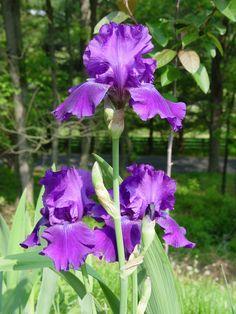 purple iris flower | Now that's an Iris