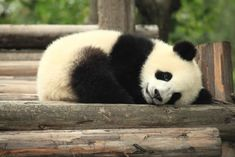 Pandas, much like babies, are a terrific source of cuteness. This is a known fact, but panda babies are the best of both adorable worlds. Panda Bebe, Cute Panda, Panda Panda, Panda Ring, Wild Panda, Animals And Pets, Baby Animals, Cute Animals, Baby Pandas