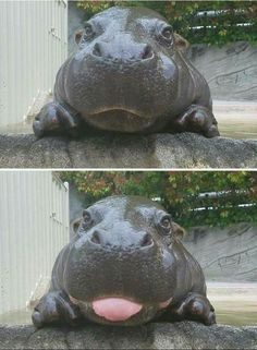 Baby Hippo, too cute! Love animal photos.
