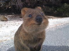 Quokkas Are The Happiest Animal In The World