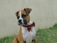 #boxerdog