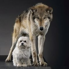 I photographed a Wolf & a Maltese puppy for my first cover of the National Geographic magazine. We were able to plan the coverage well in advance. Kurt Mutchler, the photo editor and I wanted to get a wolf and a very different looking dog breed in the sam Domesticated Wolf, List Of Endangered Species, National Geographic Cover, Wolf Poses, Wolf Population, Maltese, Small Dogs, Dog Breeds, Husky