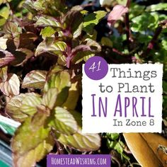 It's not too late to start a garden this year. Spring is in full effect, and there are many things you can plant this in April when living in zone 8! | Homestead Wishing, Author Kristi Wheeler | http://homesteadwishing.com/what-to-plant-in-april/ | planting-in-garden, april-planting, gardening-april |