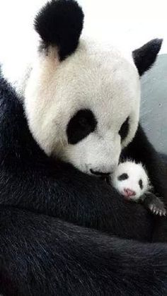 I have just always had a thing for pandas.ever since it was my favorite stuffed animal as a girl.Giant Panda Yuan Yuan cuddles her newborn baby girl Yuan Zai Baby Animals, Funny Animals, Cute Animals, Baby Pandas, Baby Panda Bears, Giant Pandas, Teddy Bears, Beautiful Creatures, Animals Beautiful