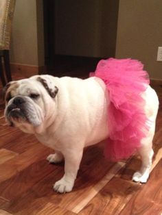 Bullerina's: Just Twist and Drool   BaggyBulldogs