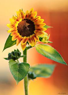 Girasol / Sunflower  ¡Las amo!