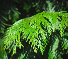 """a rare stand of tall conifers…pine, fir and cedar"" Douglas Fir Tree, Sequoiadendron Giganteum, Cedrus Deodara, Spruce Tips, Picea Abies, Northern White Cedar, Juniper Tree, Norway Spruce, Tree Identification"