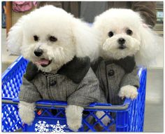 Adorable Bichon Frise Photo Just Because They're So Cute!! - Bichon Frise Owner