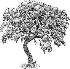 Mesquite Tree Stock Art Illustration by Roger Hall