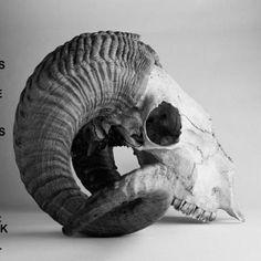 Kiss the anus of a black cat - Feathers of the wings of the angel gabriel Animal Skeletons, Animal Skulls, Ram Skull, Skull Art, Skull Reference, Skull Anatomy, Arte Sketchbook, Animal Bones, Character Aesthetic