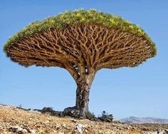 Here, a Dragon's Blood Tree grows on Socotra, a small group of islands in the Indian Ocean.  Dragon's blood is used by many people for the purpose of warding off evil and bringing good luck in love and money matters. A chunk of dragon's blood carried in a red flannel bag is said to be lucky for love. When carried in a green flannel bag, it is lucky for money.   Small pieces of the resin may be burned on charcoal  to cleanse the home and rid premises of evil.  [Photographer: Neil Lucas, LIFE]